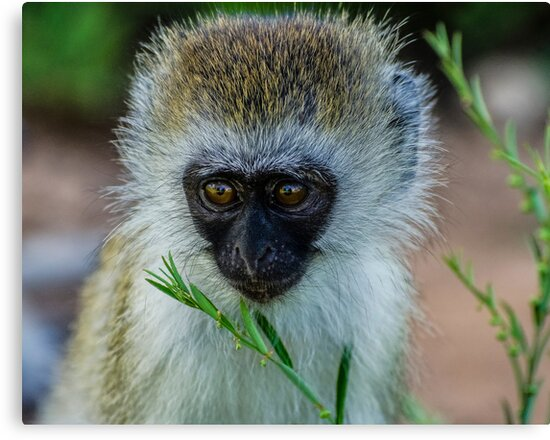 Infant Ververt Monkey, Lake Manyara, Tanzania  by Sue Ratcliffe