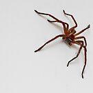 Huntsman Spider by Colin  Ewington