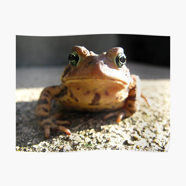American Toad #3 Poster