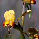 Common Donkey Orchid by orpheus