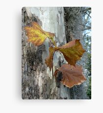 Sycamore gold Canvas Print