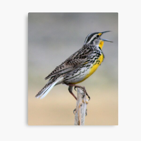 Lonely Meadowlark Canvas Print