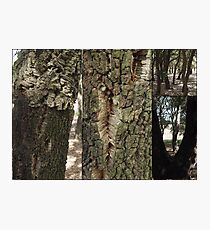 Cork Oak Trees Canberra ACT Photographic Print