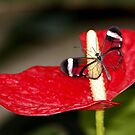 Glasswing on Lily by AnnDixon