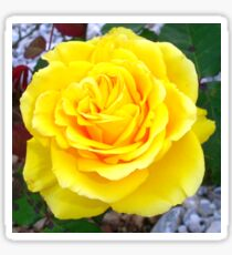 Head On View Of A Yellow Rose With Garden Background Sticker