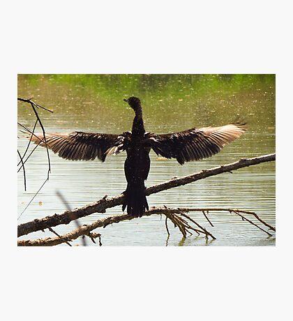 Neotropic Cormorant ~ Drying Off Photographic Print