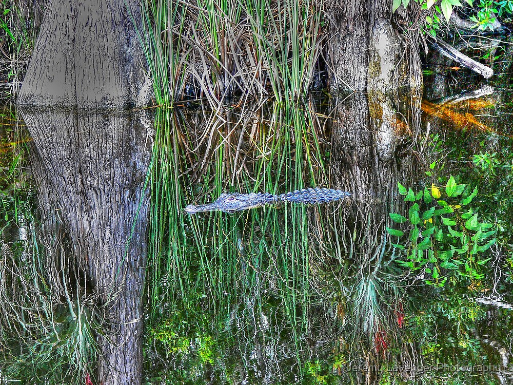 Alligator in The Everglades, South Florida by Jeremy Lavender Photography