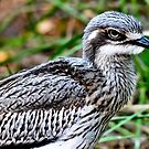 Bush Stone-curlew  by Tom Newman