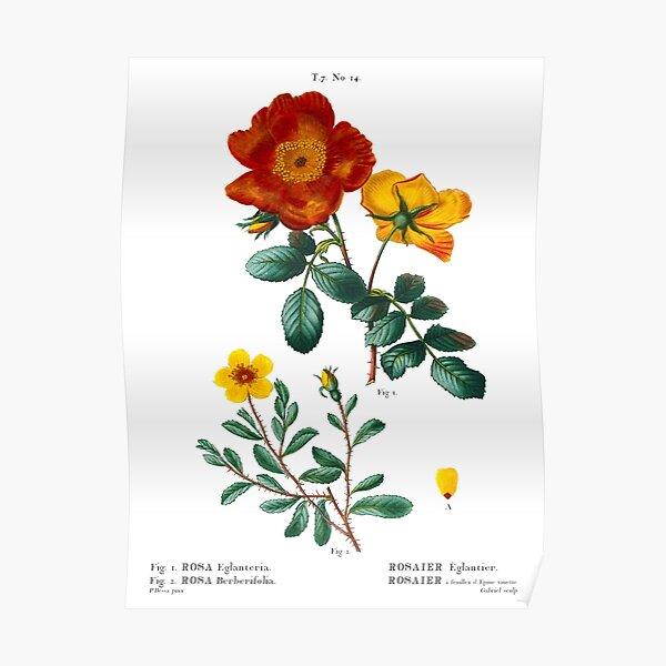Rose Rosa Eglanteria Rosier Eglantier Rosa Berberifolia Sweetbrier Rose Plate 14 Antique Print By Pierre Joseph Redoute Poster By Orchardarts Redbubble