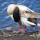 Ducks and Geese by Tammy Rooker