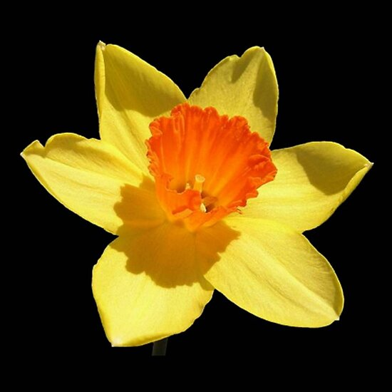 Spring Daffodil Isolated On Black by taiche