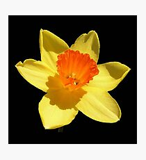 Spring Daffodil Isolated On Black Photographic Print
