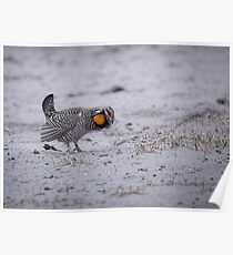 Prairie Chicken 2013-2 Poster