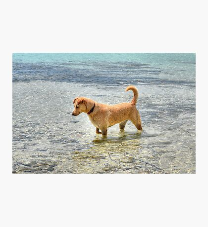 Dog playing in the Caribbean waters at Yamacraw Beach - Nassau, The Bahamas  Photographic Print