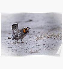 Prairie Chicken 2013-3 Poster