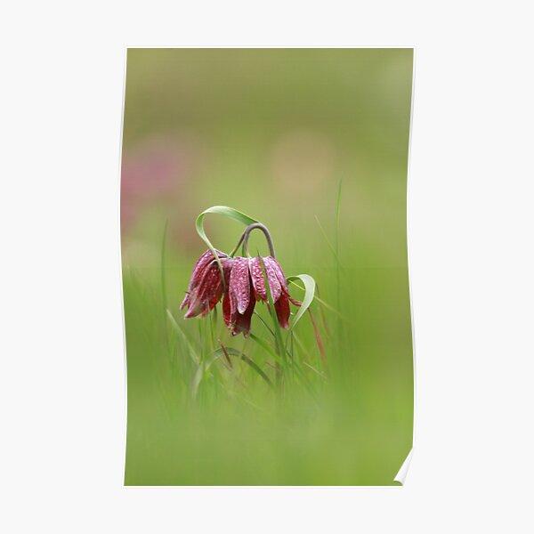 Flowering fritillaries Poster
