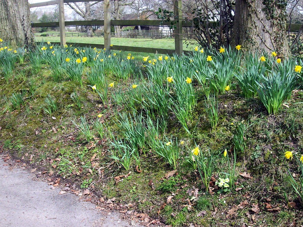 a host of golden daffodils by margaret hanks