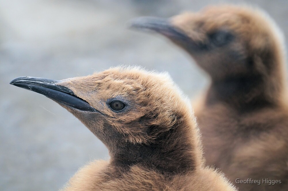 King Penguin Chicks in South Georgia by Geoffrey Higges