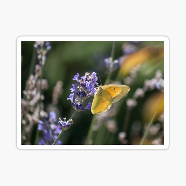 Clouded Yellow Butterfly Sticker