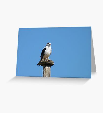 Black Shouldered Kite Greeting Card