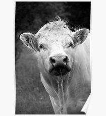 Charolais Bull Poster