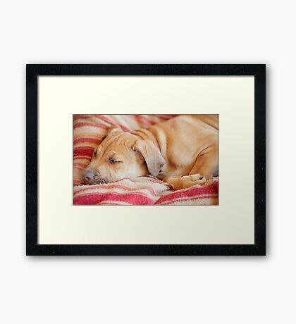 Let sleeping dogs lie.... Framed Print