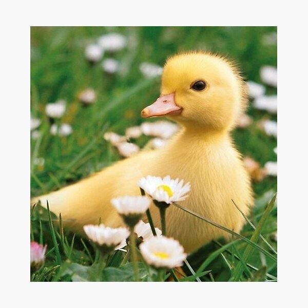 Duck in a field Photographic Print