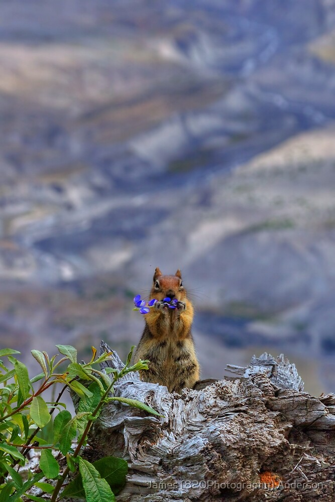 Helens Squirrel by James Anderson