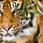 Tiger: Hidden by Stephanie B