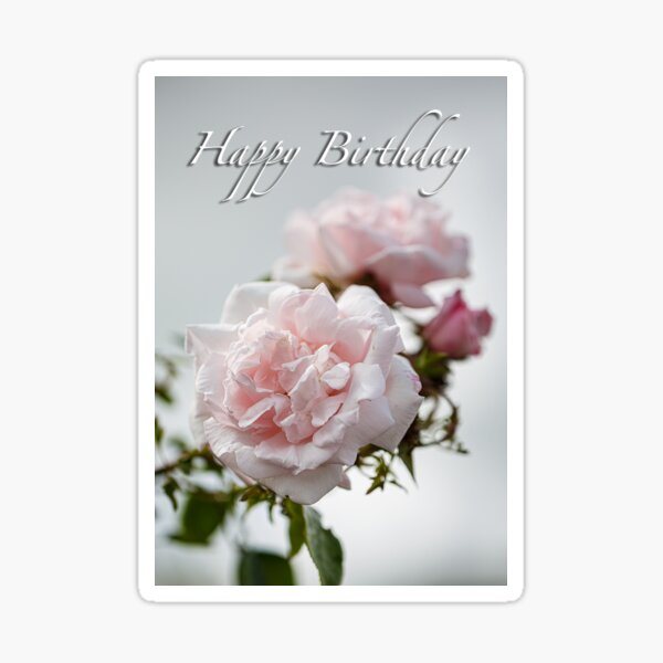 Soft pink rose birthday  card  Sticker