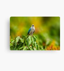 Blue-grey Tanager Canvas Print