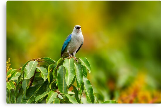 Blue-grey Tanager by Paul Wolf