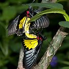 The Coupling - Golden Birdwing - Troides rhadamantus by Robin Webster