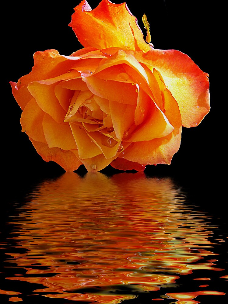 460-rose with the reflections by elvira1