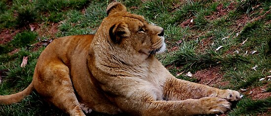 African Lioness by Ladymoose