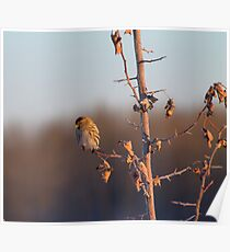 Sun Basking Red Poll Finch Poster