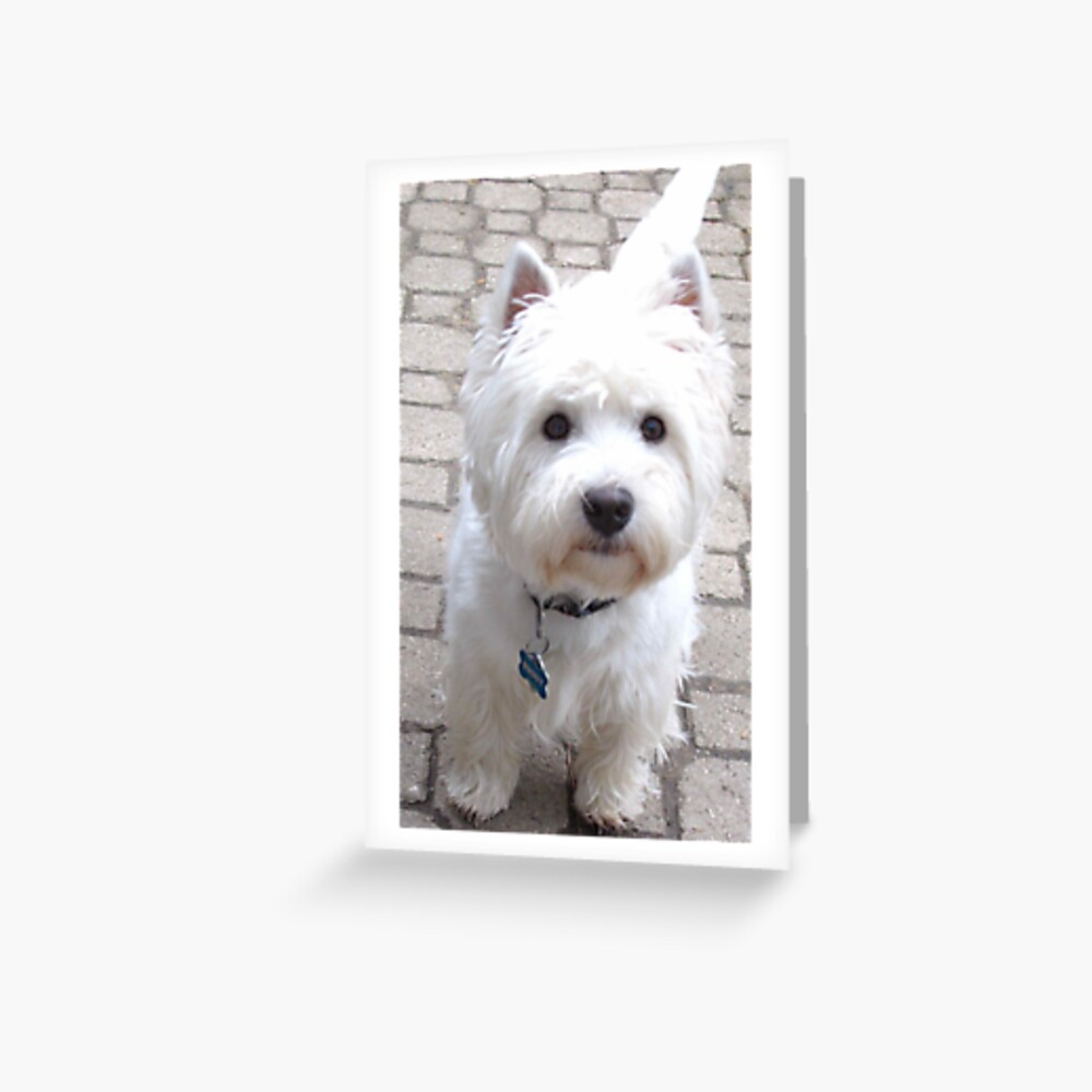 Snow White Terrier Greeting Card