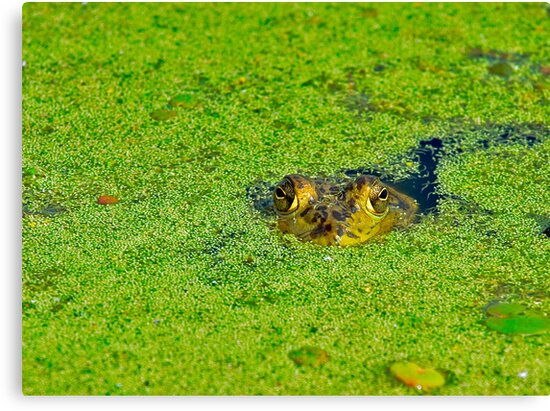 Bullfrog Stare by Paul Wolf