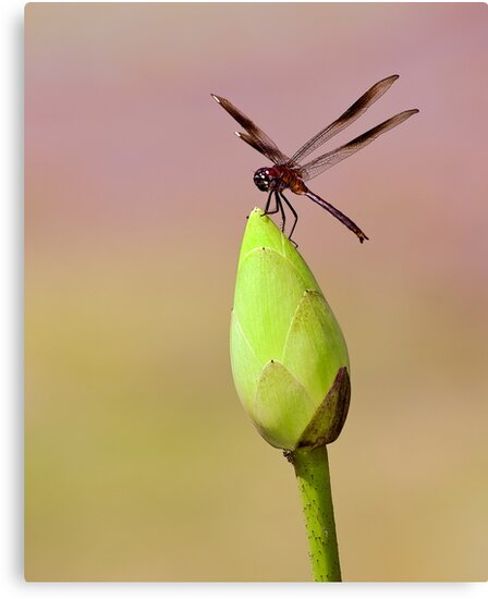 Dragonfly on Lotus Bud 2 by Paul Wolf