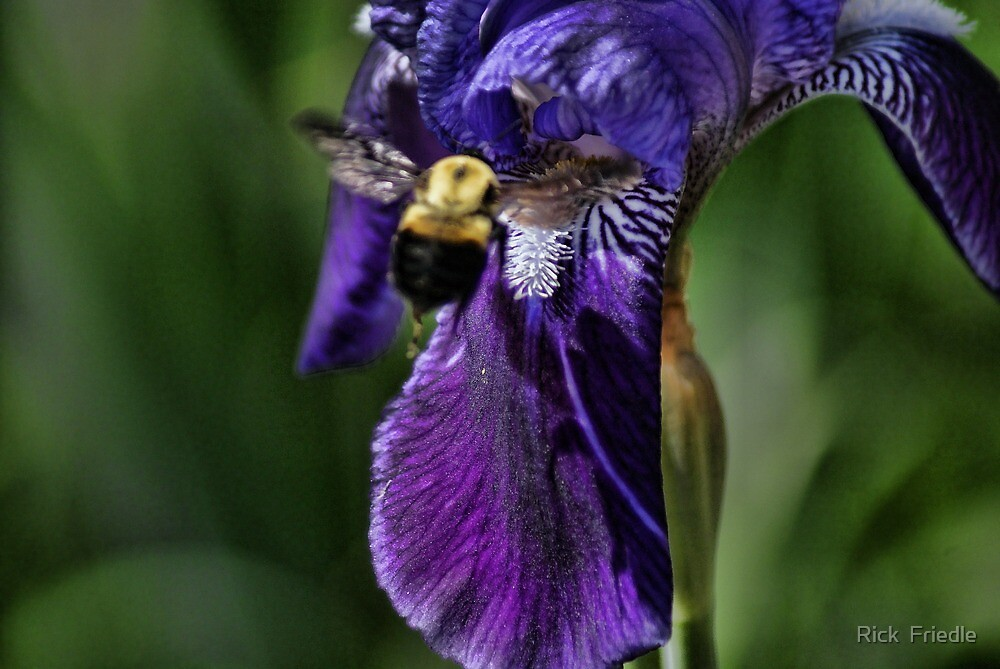 Bumblr Bee and Iris by Rick  Friedle