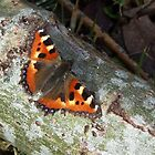 The Small Tortoiseshell by ienemien