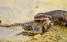 Water Moccasin Eating Bullfrog by Paul Wolf