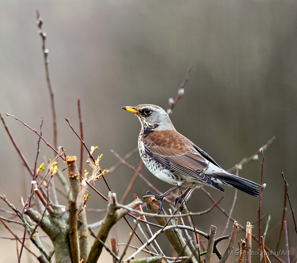 Fieldfare by M S Photography/Art