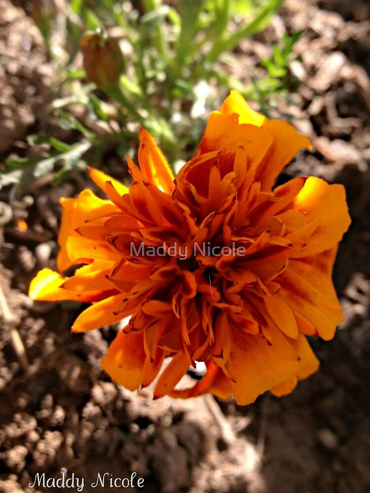 Flaming Marigold by Maddy Nicole
