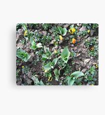 Tulip Buds Canvas Print