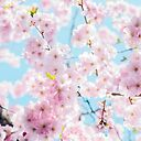Aesthetic Sakura Cherry Blossom Flower Poster By Funcooldesigns Redbubble