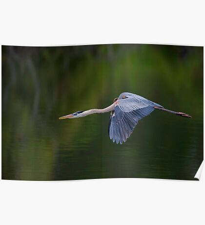 Blue Heron in Flight Poster