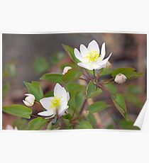 Rue Anemone Wildflower - Pale Pink - Thalictrum thalictroides Poster