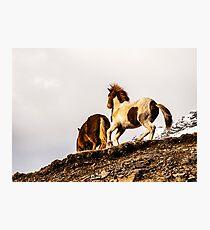 Icelandic Pony. Photographic Print
