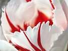 Tulip Flowers art prints Pink White Tulips Photography by BasleeArtPrints